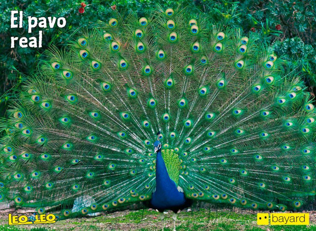 El pavo real - Revista Leoleo